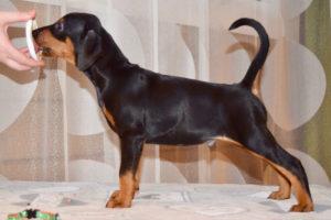 щенок немецкого пинчера