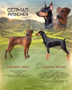 купить щенка немецкого пинчера